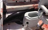 """Hãi hùng cảnh cá heo """"điên"""" làm loạn trong thuyền của du khách"""