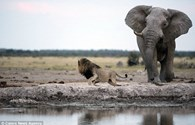 """Sư tử hoảng loạn chạy """"bán sống bán chết"""" khi thấy con voi lại gần"""