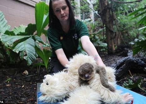 Kinh ngạc cảnh con lười kết thân với chú gấu bông