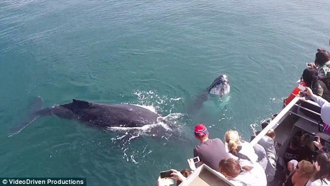 Khoảnh khắc kinh ngạc khi chiếc thuyền đối mặt với con cá voi lưng gù khổng lồ