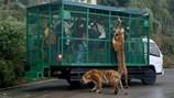 Kinh hãi cảnh du khách bị đàn sư tử, hổ bao vây