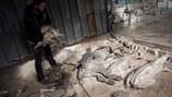 Rùng mình với khung cảnh các loài động vật bị chết khô, bỏ rơi ở Dải Gaza