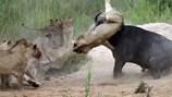 Cuộc chiến kinh hãi giữa sư tử và trâu rừng