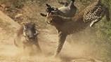 Lợn rừng thoát chết thần kỳ sau khi bị con báo tấn công