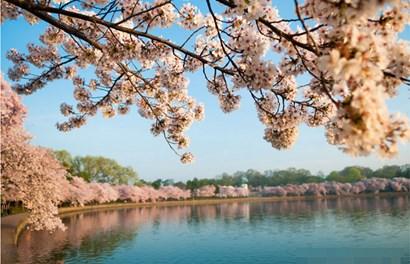 Mê mẩn ngắm cảnh sắc vườn hoa anh đào khổng lồ ở thủ đô nước Mỹ