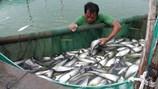 Đồng Tháp: Thu nhập cao nhờ nuôi cá nàng hai