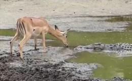 Đáng sợ khoảnh khắc cá sấu đói lao vào đớp mồi, cắn xé linh dương