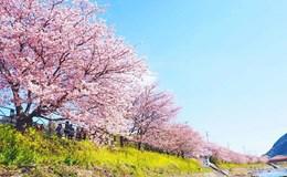 Lạc bước trong ngôi làng rực hồng sắc hoa anh đào đẹp như cổ tích