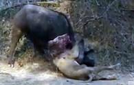 Trâu rừng tung đòn hiểm húc sư tử tử thương