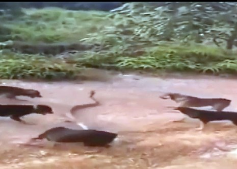5 chú chó tấn công rắn hổ mang khổng lồ