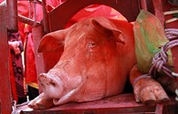 Lễ chém lợn Ném Thượng rút vào bí mật, dân làng kém vui