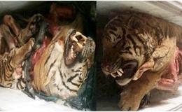 Nghệ An: Phát hiện 5 con hổ trong tủ đông lạnh