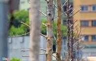 Xót xa nhìn hàng cây không mọc lá ở tuyến đường đẹp nhất Việt Nam