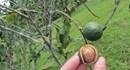 LienVietPostBank tiếp tục dành 3000 tỉ đồng phát triển cây mắc ca