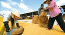 Nghe theo thương lái,  gạo Việt mất cơ hội xuất khẩu