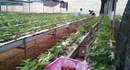Đầu tư tiền tỉ, từ Hà Nội lên Mộc Châu trồng dâu tây sạch