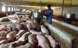 """Đàn lợn phát triển """"nóng"""", Bộ NNPTNT nghiêm cấm lập chốt kiểm tra trái quy định"""