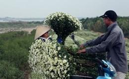 Kiếm cả trăm triệu đồng nhờ trồng Cúc Họa Mi