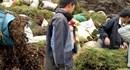 Sự thật sau tin đồn thương lái Trung Quốc ồ ạt mua gom cây thông đất