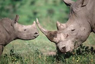Mùa thu cho tê giác