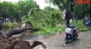 Cây cổ thụ trăm tuổi bật gốc chắn ngang đường Hoàng Diệu