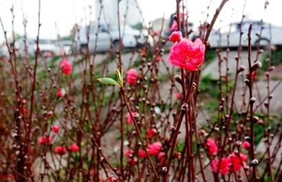 Hoa đào khoe sắc sau những ngày giá rét kỷ lục