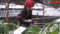 Người dân đau lòng nhìn rau tan nát trong mưa tuyết