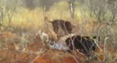 Báo đốm tuyệt vọng trong vòng vây của bầy chó săn hung dữ