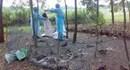 Quảng Ngãi: Cúm gia cầm H5N1 bùng phát ra diện rộng