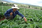 Nông dân Lâm Đồng làm rau VietGAP