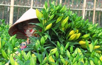 Ngỡ ngàng trước vẻ đẹp của cánh đồng hoa Song Phượng vào mùa
