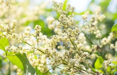 Mãn nhãn ngắm hoa nhãn nở trắng trời Hưng Yên