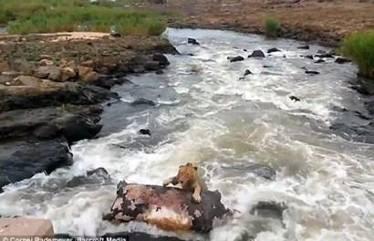 Kinh hãi sư tử dùng xác hà mã làm bè để vượt sông
