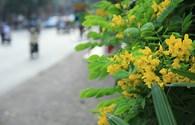 Quốc hoa Thái Lan rực rỡ sắc màu trên khắp phố phường Hà Nội