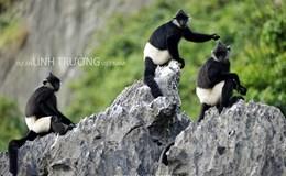 Xem bộ ảnh đẹp mê hồn về loài linh trưởng quí hiếm của Việt Nam