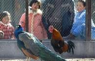 Trung Quốc sử dụng gà để dự báo động đất xảy ra