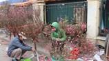 Hoa đào rớt giá thê thảm sau Tết