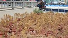 Hà Nội: Cây cảnh chết khô, cháy xém hàng loạt phía trên hầm chui nghìn tỷ