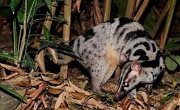 Ba cá thể cầy vằn quý hiếm được cứu tại Đà Lạt, Lâm Đồng