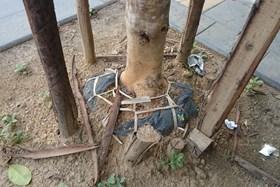 Hà Nội: Còn bao nhiêu cây trồng đang còn nguyên nylon bọc rễ?