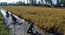 Trúng đậm tôm càng xanh nuôi trên ruộng lúa