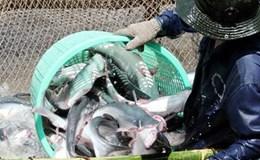 """Đồng bằng sông Cửu Long: """"Méo mặt"""" vì giá cá tra tăng"""
