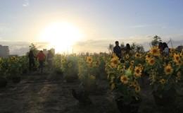Giới trẻ Đà Nẵng nô nức chụp ảnh tại cánh đồng hoa hướng dương
