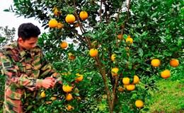 Ngắm vườn cam tiền tỷ của ông chủ tuổi 20