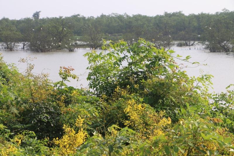 Đẹp mê hồn hoa giêng giếng vàng rực bên bờ sông Lam