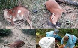 """Truy tìm """"thủ phạm"""" khiến 8 con bò của một gia đình chết trong rừng"""