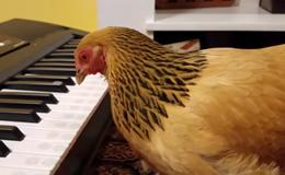 """Tròn mắt xem cô gà mái đánh piano bài """"Nước Mỹ tươi đẹp"""""""