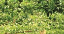 Khuyến cáo không nên ồ ạt tăng diện tích trồng chanh dây