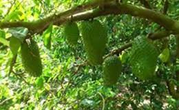 Mãng cầu xiêm dễ trồng, có thể thay thế các loại cây khác