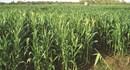 Cây ngô (bắp) có thể  thay thế  một phần cho cây lúa